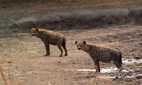 Zdjęcie ZAMBIA / Zambia / South Luangwa National Park / Hieny