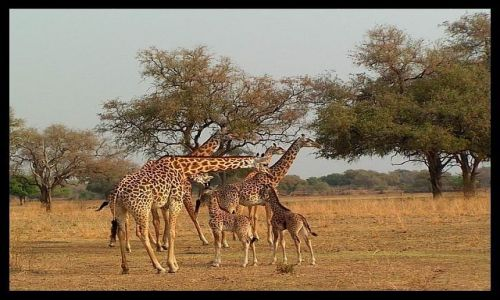 ZAMBIA / p�nocno-wschodnia Zambia / South Luangwa National Park / �yrafy Tornicrofta