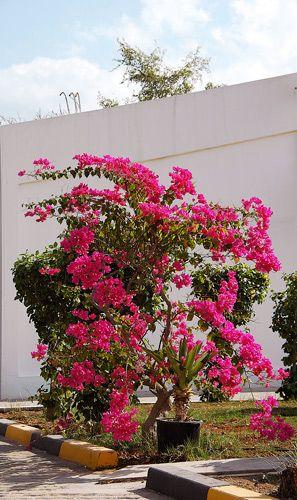 Zdjęcia: FUJAIRAH, FUJAIRAH, grudniowe kwiaty, ZJEDNOCZONE EMIRATY ARABSKIE
