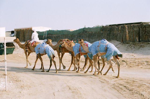 Zdjęcia: okolice Abu Dhabi, Zatoka Perska, wielbłądy, ZJEDNOCZONE EMIRATY ARABSKIE