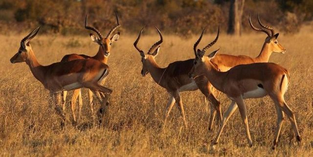 Zdjęcia: Okolice Hwange, Impala, ZIMBABWE