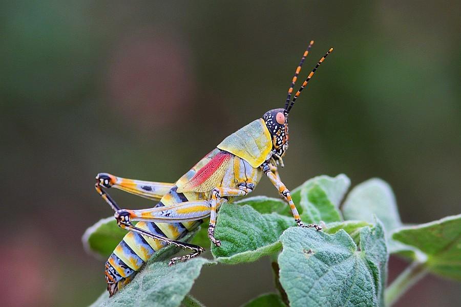 Zdjęcia: Ndumo Game Reserve, Kwazulu Natal, Elegant Grasshopper , ZIMBABWE