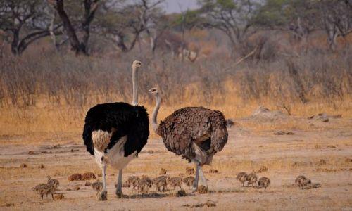 Zdjecie ZIMBABWE / - / Park Narodowy Hwange / Strusia rodzina