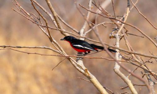 ZIMBABWE / - / Park Narodowy Hwange / Dzierzba purpurowa