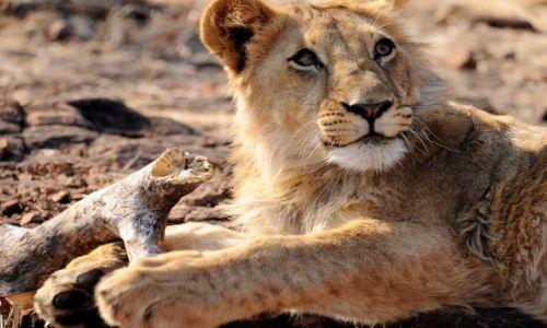 Zdjęcie ZIMBABWE / - / Lion Encounter, Victoria Falls / No czy ja mogę być groźny?