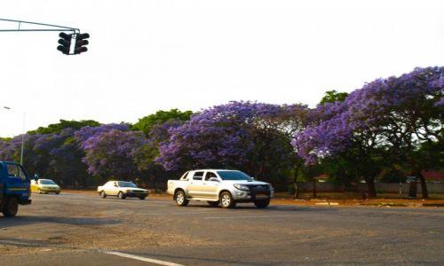 Zdjęcie ZIMBABWE / - / Harare / Jedna z wielu bajkowych alei Dżakarand