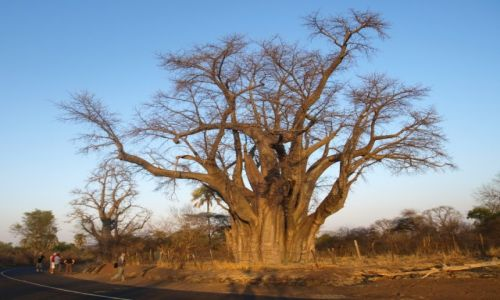Zdjecie ZIMBABWE / - / Victoria Falls / Baobab