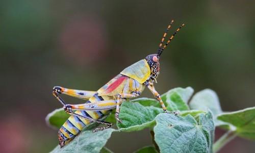 Zdjecie ZIMBABWE / Kwazulu Natal / Ndumo Game Reserve / Elegant Grasshopper
