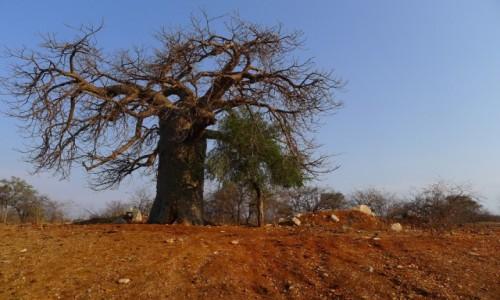 ZIMBABWE / Południowe Zimbabwe / Po drodze  / Baobab
