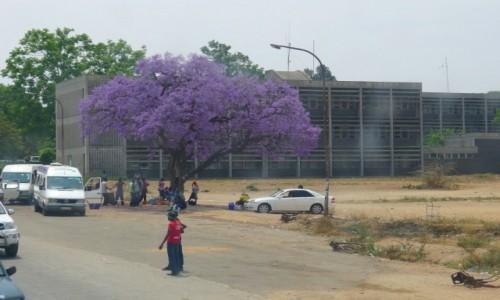 Zdjęcie ZIMBABWE / Zachodnie Zimbabwe  / Miasto Bulawayo  / Dżakaranda