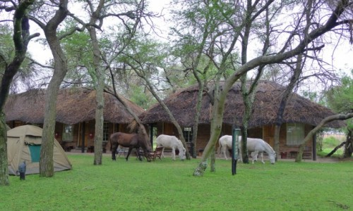 ZIMBABWE / Centralne Zimbabwe/ okolice Gweru / Antelope Park/ kemping / Konie mają wolne