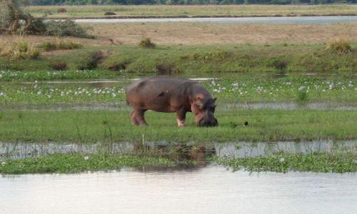 Zdjecie ZIMBABWE / Mana Pools / Zambezi River / hippo