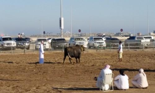 ZJEDNOCZONE EMIRATY ARABSKIE / Emirat FUDŻAJRA / FUDŻAJRA / Walki bykow w Fujairah.