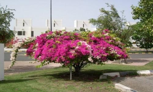 ZJEDNOCZONE EMIRATY ARABSKIE / Emirat Abu Zabi / Ruwais / Kwiaty